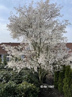 Christoph-Ulmer-Baumschulen-Weilheim-Teck-Aktuelle-Formgehoelze-1567-Amelanchier-laevis-April-2021