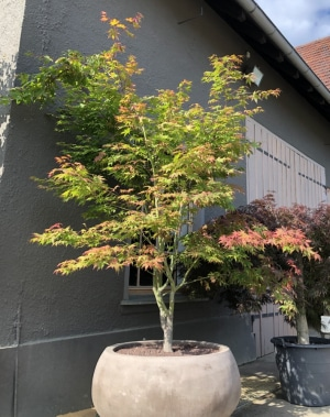 Christoph-Ulmer-Baumschulen-Weilheim-Teck-Aktuelle-Formgehoelze-Acer-palmatum-Osakazuki-Topf
