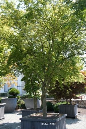 Christoph-Ulmer-Baumschulen-Weilheim-Teck-Formgehoelze-1008-Acer.jpg&width=753&height=794