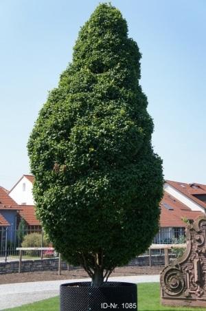 Christoph-Ulmer-Baumschulen-Weilheim-Teck-Formgehoelze-1085-Carpinus-betulus-Monumentalis.jpg&width=753&height=794