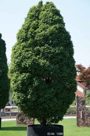Christoph-Ulmer-Baumschulen-Weilheim-Teck-Formgehoelze-1086-Carpinus-betulus-Monumentalis.jpg&width=753&height=794