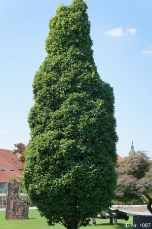 Christoph-Ulmer-Baumschulen-Weilheim-Teck-Formgehoelze-1087-Carpinus-betulus-Monumentalis.jpg&width=753&height=794