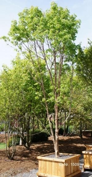 Christoph-Ulmer-Baumschulen-Weilheim-Teck-Formgehoelze-1509-Acer-trifolium.jpg&width=753&height=794