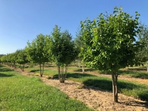 Christoph-Ulmer-Baumschulen-Weilheim-Teck-Formgehoelze-Magnolia-kobus-mehrstaemmig-07-19-1