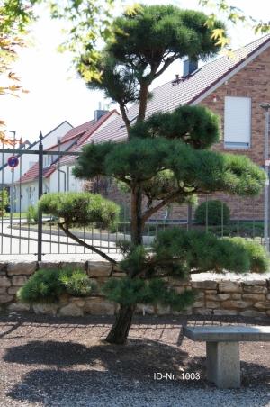 Christoph-Ulmer-Baumschulen-Weilheim-Teck-Gartenbonsai-1003-Pinus-sylvestris-Bonsai