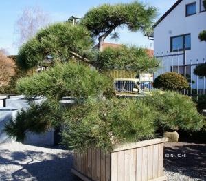 Christoph-Ulmer-Baumschulen-Weilheim-Teck-Gartenbonsai-1246-Pinus-Bonsai-2