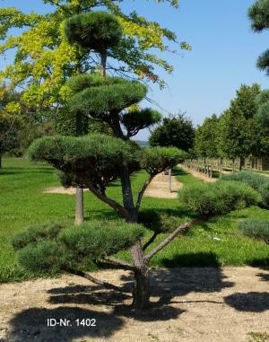 Christoph-Ulmer-Baumschulen-Weilheim-Teck-Gartenbonsai-1402-Pinus-sylvestis-Bonsai-1