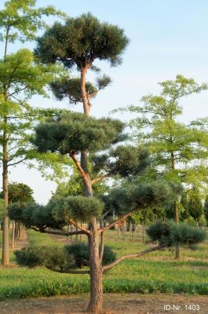 Christoph-Ulmer-Baumschulen-Weilheim-Teck-Gartenbonsai-1403-Pinus-sylvestris-Bonsai