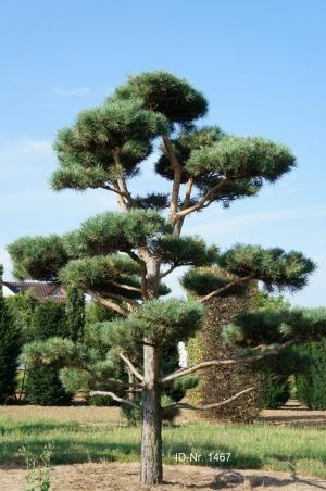 Christoph-Ulmer-Baumschulen-Weilheim-Teck-Gartenbonsai-1467-Pinus-sylvestris-Bonsai