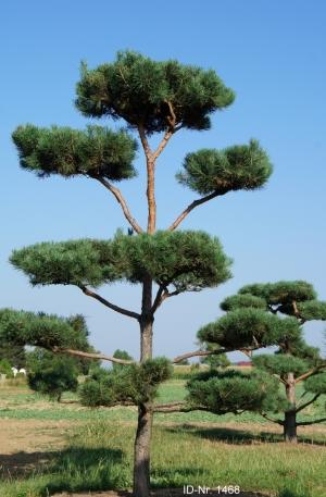 Christoph-Ulmer-Baumschulen-Weilheim-Teck-Gartenbonsai-1468-Pinus-sylvestris-Bonsai