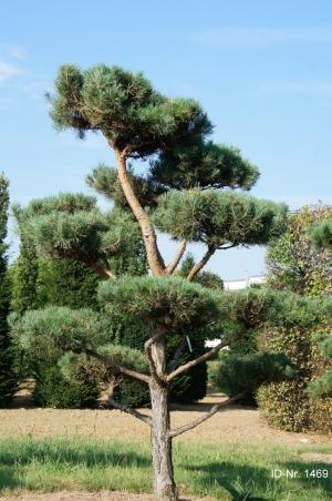 Christoph-Ulmer-Baumschulen-Weilheim-Teck-Gartenbonsai-1469-Pinus-sylvestris-Bonsai