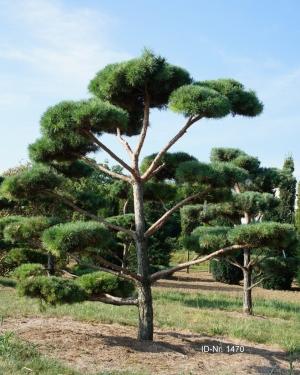 Christoph-Ulmer-Baumschulen-Weilheim-Teck-Gartenbonsai-1470-Pinus-sylvestris-Bonsai
