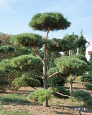 Christoph-Ulmer-Baumschulen-Weilheim-Teck-Gartenbonsai-1471-Pinus-sylvestris-Bonsai