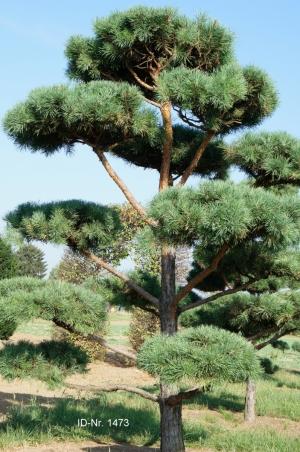Christoph-Ulmer-Baumschulen-Weilheim-Teck-Gartenbonsai-1473-Pinus-sylvestris-Bonsai