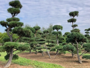 Christoph-Ulmer-Baumschulen-Weilheim-Teck-Gartenbonsai-Pinus-syvestris-Bonsai-Gruppe-IV