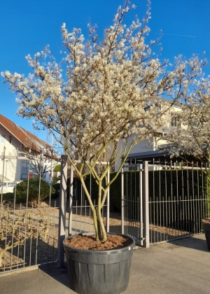 Christoph-Ulmer-Baumschulen-Weilheim-Teck-Aktuelle-Schirmfomen-Amelanchier-lamarckii