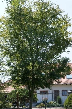 Christoph-Ulmer-Baumschulen-Weilheim-Teck-Formgehoelze-1007-Acer-palmatum