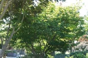 Christoph-Ulmer-Baumschulen-Weilheim-Teck-Formgehoelze-1044-Acer-palmatum-Osakazuki