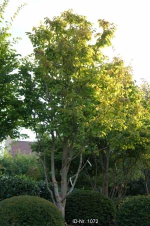 Christoph-Ulmer-Baumschulen-Weilheim-Teck-Formgehoelze-1072-Parrotia-persica