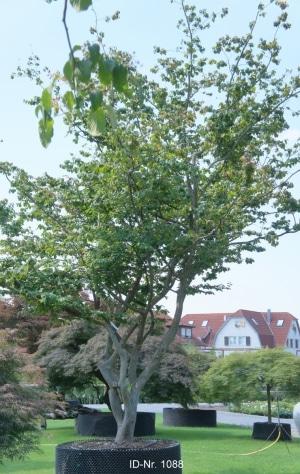 Christoph-Ulmer-Baumschulen-Weilheim-Teck-Formgehoelze-1088-Parrotia-Obelisk